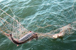 В Оленевке пресекли незаконный вылов саргана в Черном море